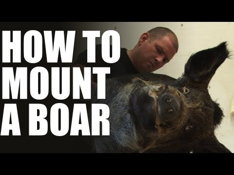Max Hunt's taxidermist – how to mount a wild boar head