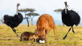 Hyena break and eat eggs before mother Ostrich coming