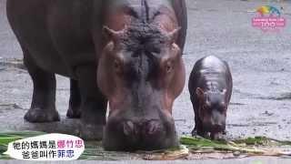河馬媽媽雨中產仔-寶寶水陸兩棲賣萌 Newborn Hippopotamus