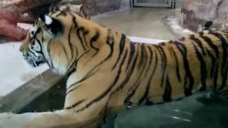 Tiger upclose and peeing in pool at Japan Tennoji Zoo, Osaka 天王寺動物園のトラ