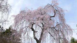 枝垂れ桜の動画素材と4K写真素材