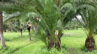Reclinata-Sylvester Hybrid Palm