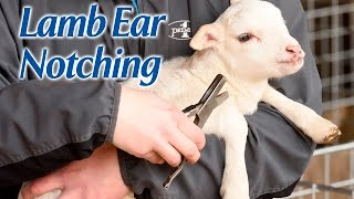 Ear Notching