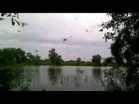 Енот на рыбалке /Комары атакуют