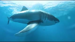 360° Video - Great White Shark Eats our Camera!