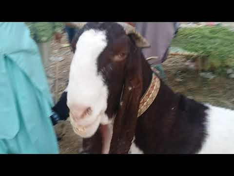Big Giant Kamori Bakra (Male Goat) for SALE | Demand 45K in Lalukhet