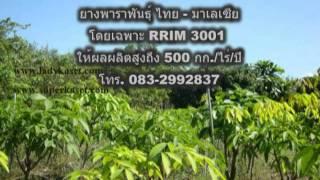 ยางพารา มาเลเซีย rrim 3001.mpg
