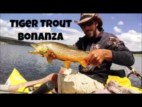 Tiger Trout Bonanza