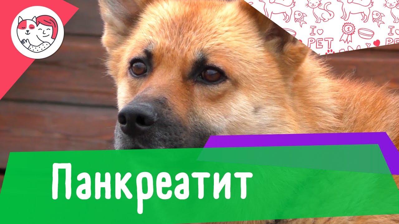 5 популярных вопросов о панкреатите у собак