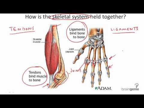 La courbature dans les muscles ou les articulations