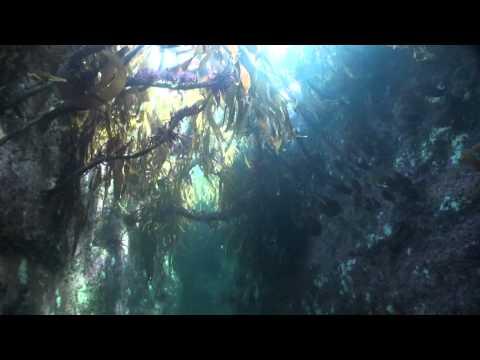 Tauchen im Kelpwald