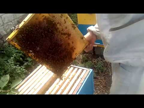 ОТКАЧИВАЮ ПОДСОЛНЕЧНЫЙ  МЕД и СНИМАЮ КОРПУСА С УЛЬЕВ после ГВ #Honey bee