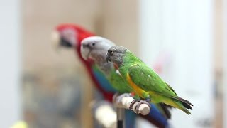 Introducing My 3 Parrots: Kili, Truman, and Santina