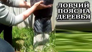 Как сделать ловчий пояс для плодовых деревьев