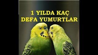 free download MUHABBET KUŞLARI 1 YILDA KAÇ DEFA YUMURTLAR ???Movies, Trailers in Hd, HQ, Mp4, Flv,3gp