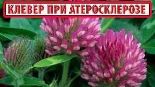 Клевер трава лечебные свойства