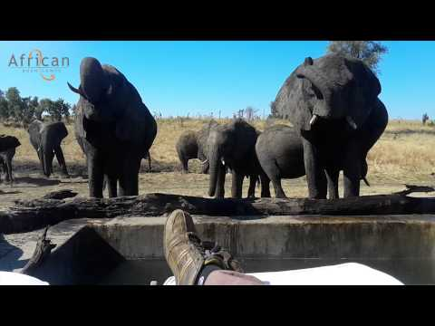 A unique experience of Elephants at Somalisa Camp in Hwange National Park Zimbabwe. The Elephants frequenting this area of the park have habituated to drinking daily from the freshly pumped water in the plunge pool in front of Somalisa Camp.