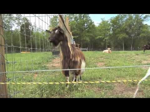 , title : 'South Georgia Farm Raises Fainting Goats For Pets