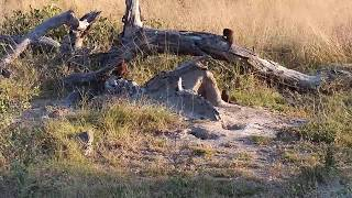 Djuma: Dwarf Mongoose group at small den - 16:16 - 05/25/20