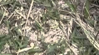 コニワハンミョウの巣穴に小さい石を入れる