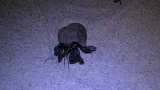 preview picture of video 'Hermit crab on Tonga'