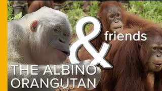 The World's Only Albino Orangutan & Friends | Orangutan Jungle School | Love Nature