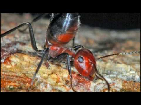 New 'Exploding' Kamikaze Ant Species Discovered In Asia