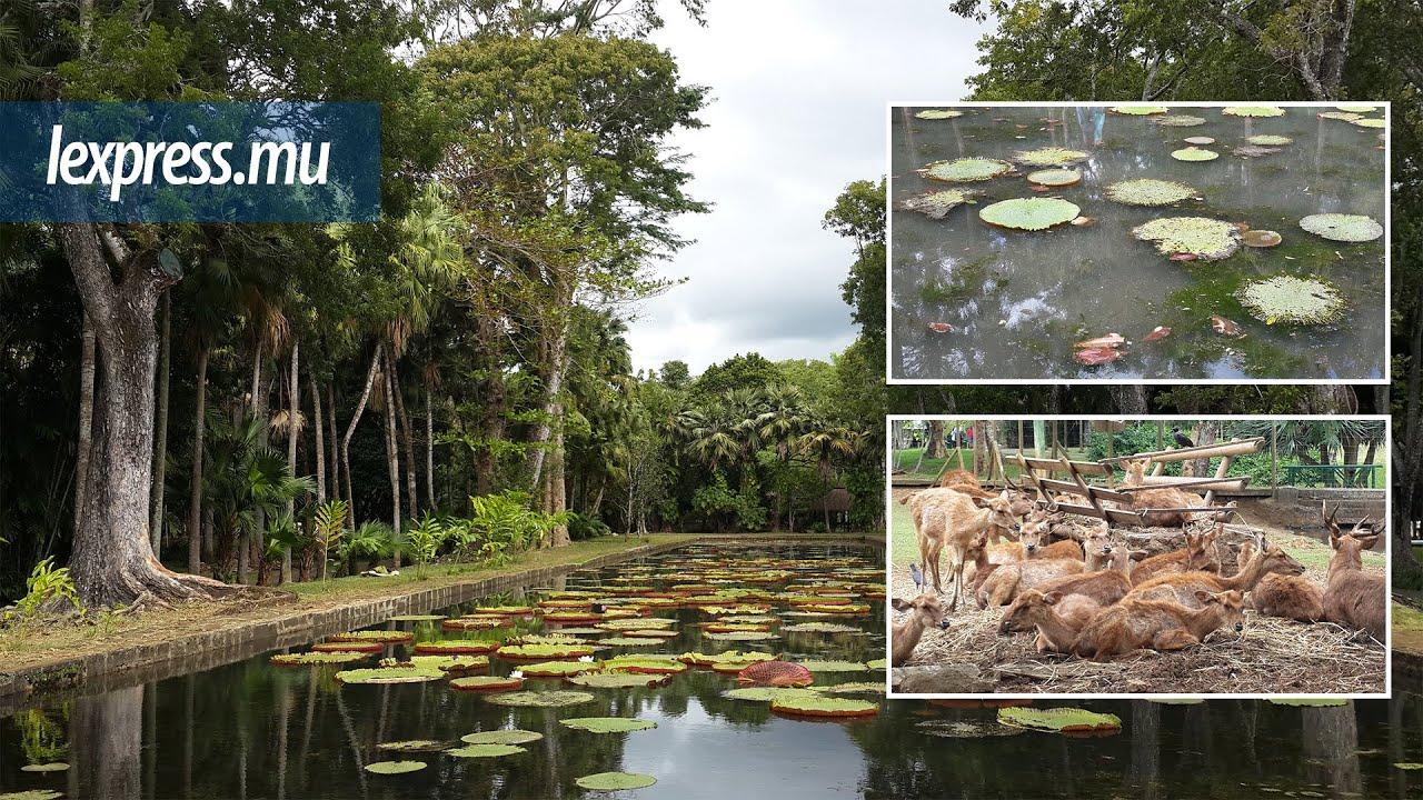 Jardin Botanique de Pamplemousses les 27 cerfs souffrent de la