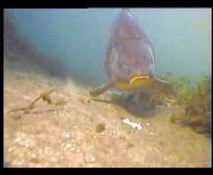 Kapr pod vodou rohlík nebo chleba