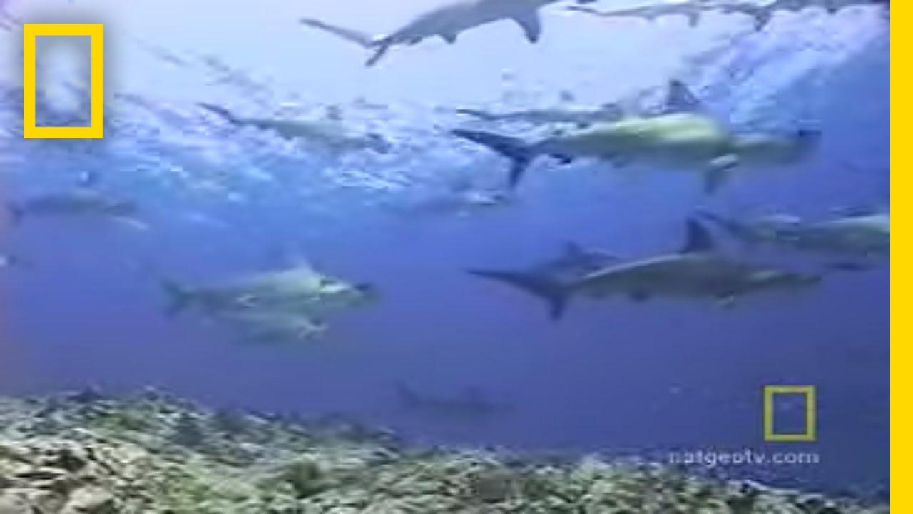 Hammerhead Sharks | National Geographic thumbnail
