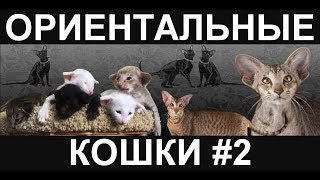 Ориентальные котята  / Ориентальная порода кошек
