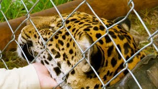 Jaguar Orphan Released into the Wild | Jaguars Born Free | BBC Earth