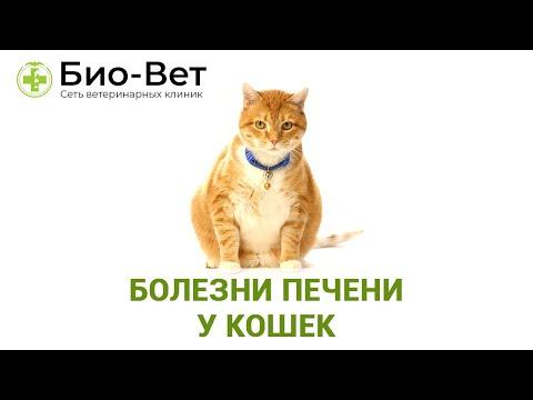 Болезни Печени У Кошек & Топ-5 Распространенных Заболеваний Печени У Кошек. Ветклиника Био-Вет