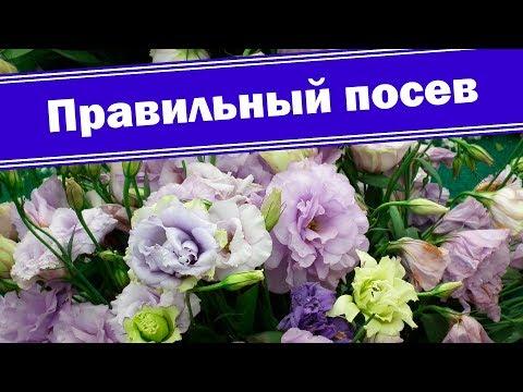 Сеем эустому (лизиантус) правильно!!!