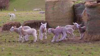 Lambs playing in Cornwall