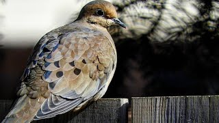 Mourning Dove and Squirrels with Ice Storm - Videos for Pets To Watch