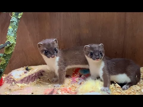 Watch These Adorable Baby Stoats Meet for the First Time