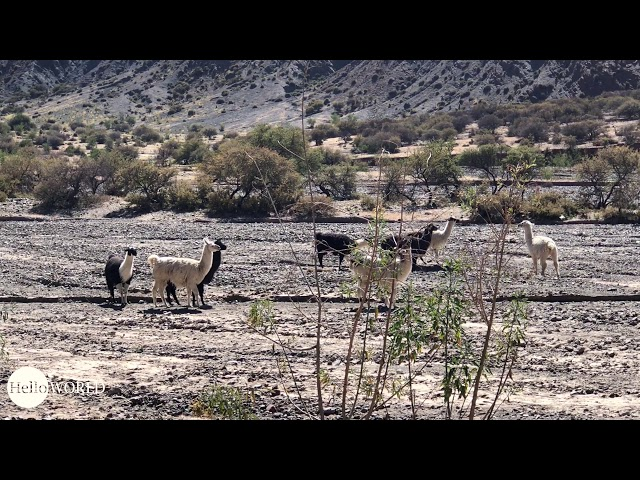 Abenteuer 100 Tage Südamerika: Lamas auf Wanderschaft in der Quebrada de Palala