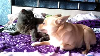 To cat has bothered to lick a dog