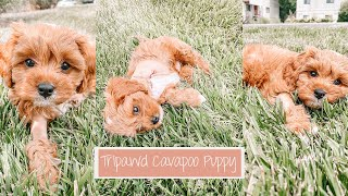 Bringing Home Our New Cavapoo Puppy  | Meet Augustus!!