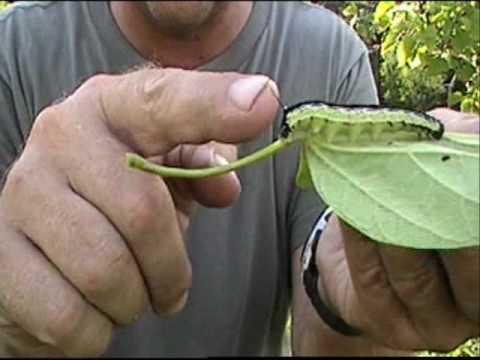 Herbal remedyo mula sa mga worm sa mga tao