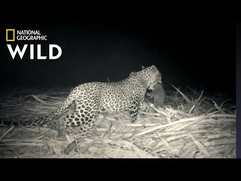 Leopard Family Reunion | Jungle Animal Rescue