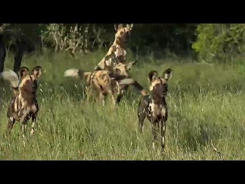 SafariLive Feb 03 Wild dog killed by lioness. letöltés