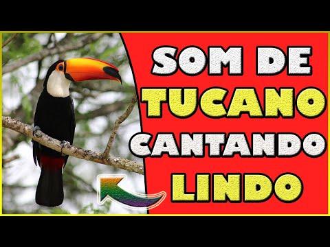 Som de Tucano cantando - Lindo canto do Tucano - Vdeo Tucano cantando na natureza (Toucan singing)