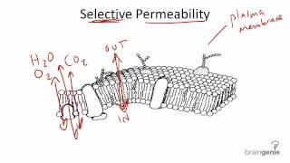 2 1 6 Selective Permeability