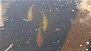 天の川で普通に見かける数万円の野良の錦鯉たち。Get Nishikigoi For Free