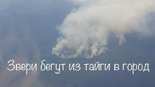 Звери бегут из тайги в город (  лесные пожары в Якутии )