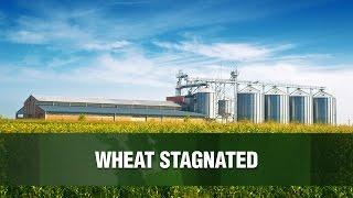 WHEAT Trigo OGM?