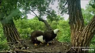 Decorah Eagles~An Altercation-Mom Steals DM2's Fish-Panning_6.29.20