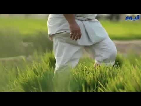مزارع الأحساء تبدأ نقل شتلات الأرز الأغلى في العالم